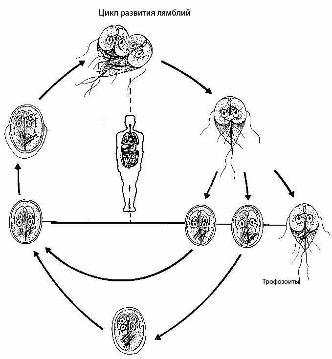Цикл развития лямблий. Гепатолог-72